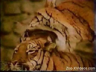 Awesome wild tigers fuck in doggy style pose in local zoo