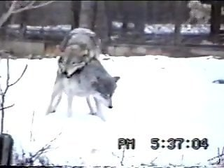 Horny zoo love catches a couple of wolves fucking in the snow