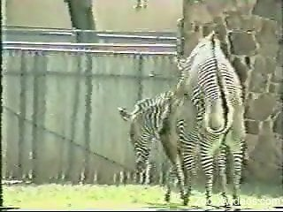 Two sexy zebras enjoying passionate love-making outdoors