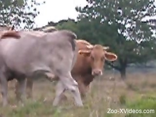 Bulls and cows enjoying hardcore sex out in the open