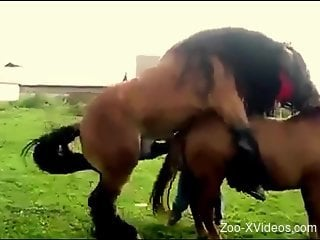 Two sexy brown horses fucking each other outdoors