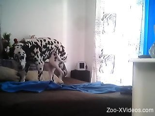 Dalmatian doggo is filmed by a perverted zoophile