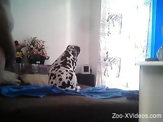 Big dalmatian dog satisfies female with great sex
