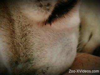 Animal pleasuring the owner in POV (close-up)